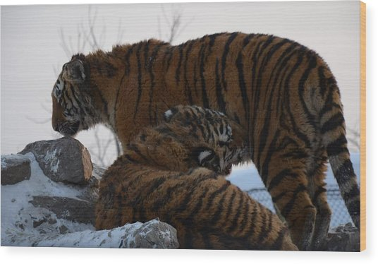 Siberian Tigers Wood Print by Brett Geyer