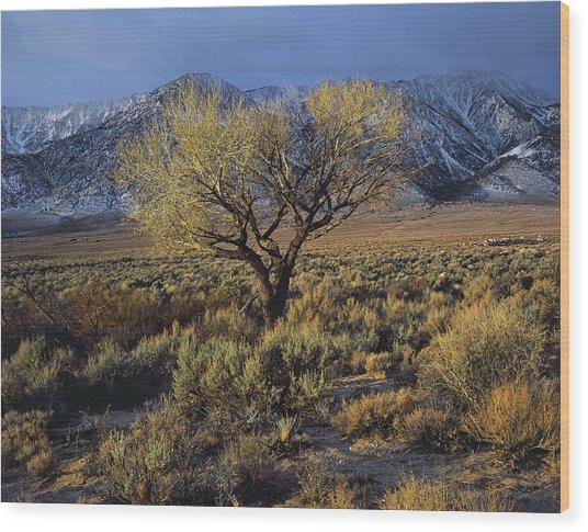 Sierra Sunlit Tree Wood Print