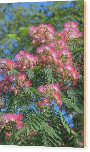 Silktree albizia julibrissin photograph by dr nick kurzenko silktree albizia julibrissin wood print by dr nick kurzenko mightylinksfo