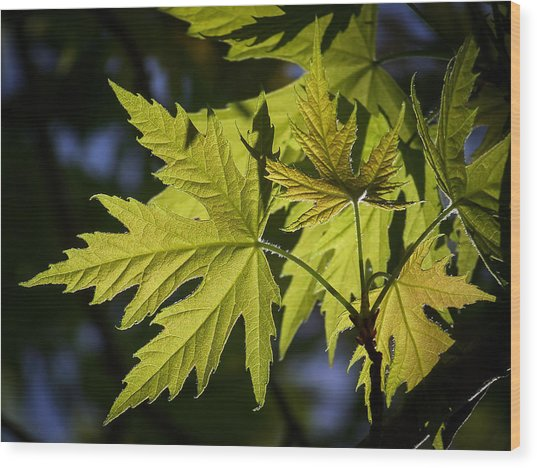 Silver Maple Wood Print