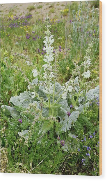 Silver Sage (salvia Argentea) In Flower Wood Print by Bob Gibbons
