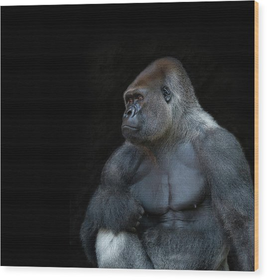 Silverback Gorilla Portrait In Profile Wood Print by Haydn Bartlett Photography