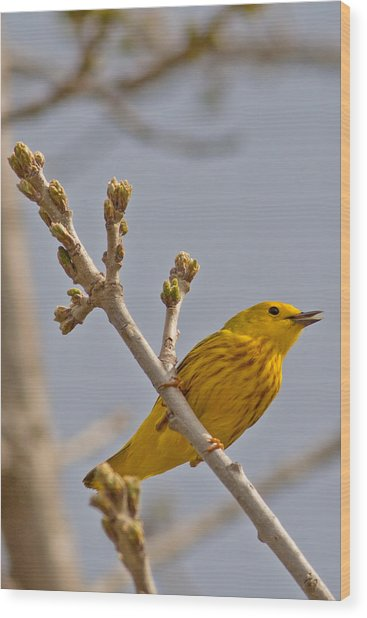 Singing Yellow Warbler Wood Print by Natural Focal Point Photography