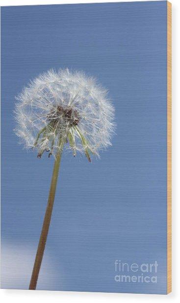 Single Dandelion Wood Print by Rachel Duchesne