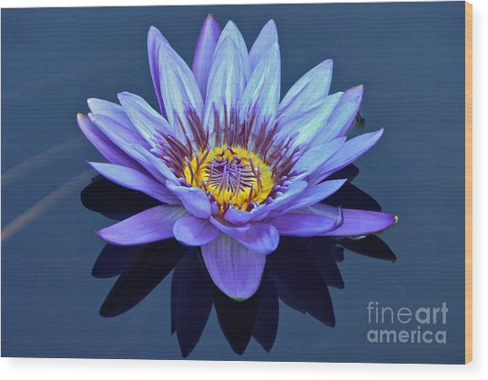 Single Lavender Water Lily Wood Print