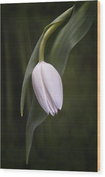 Single Tulip Still Life Wood Print