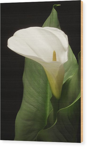 Single White Calla Wood Print