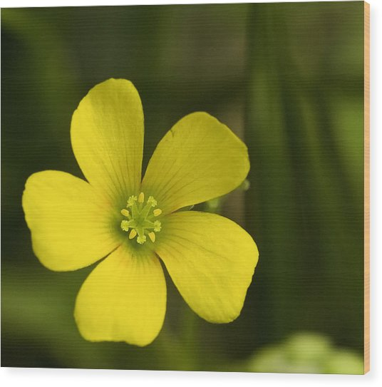 Single Yellow Flower Wood Print by John Holloway
