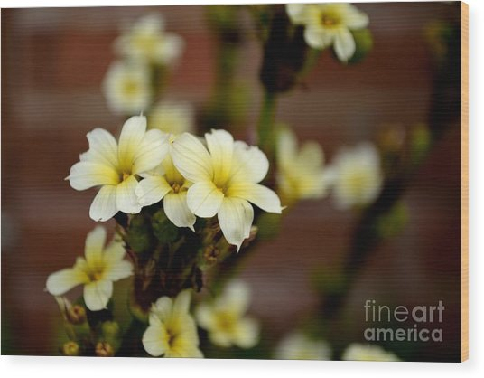 Sisyrinchium Striatum Wood Print