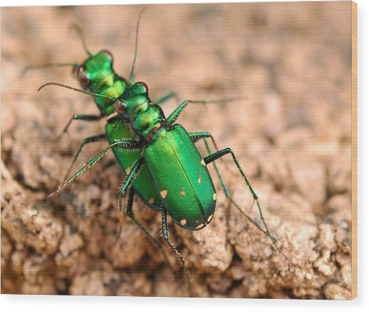 Six-spotted Tiger Beetle Mating Wood Print by Janet Hawkins