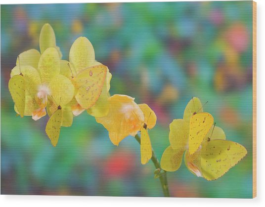 Six Yellow Sulfur Butterfly Hanging Wood Print