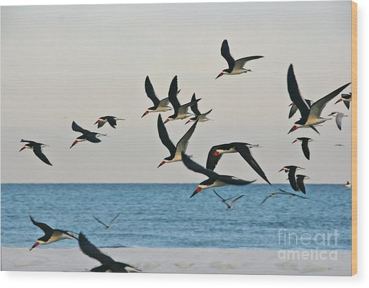 Skimmers Flying Wood Print