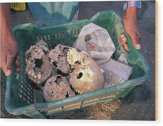 Skulls Excavated From Al-fustat Wood Print by Pascal Goetgheluck/science Photo Library