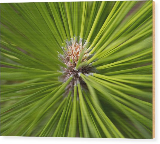 Slash Pine Needles 2 Wood Print