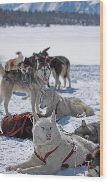 Sled Dogs Wood Print