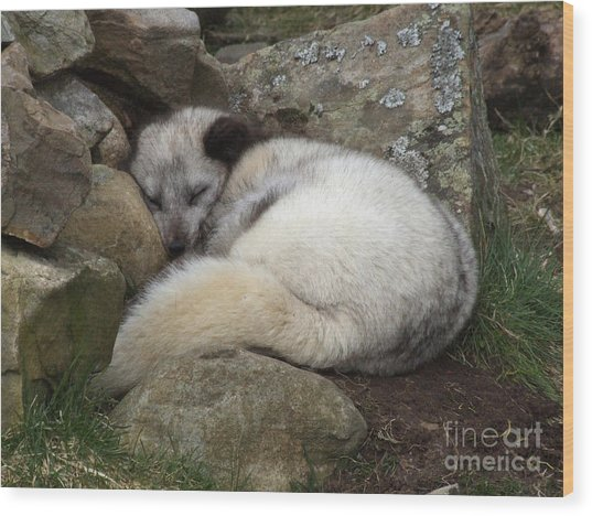 Sleeping Arctic Fox Wood Print