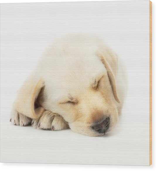 Sleeping Labrador Puppy Wood Print
