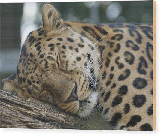 Sleeping Leopard Wood Print
