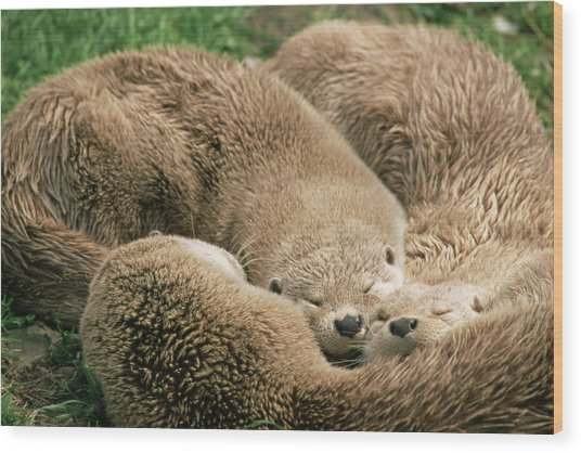 Sleeping Otters Wood Print
