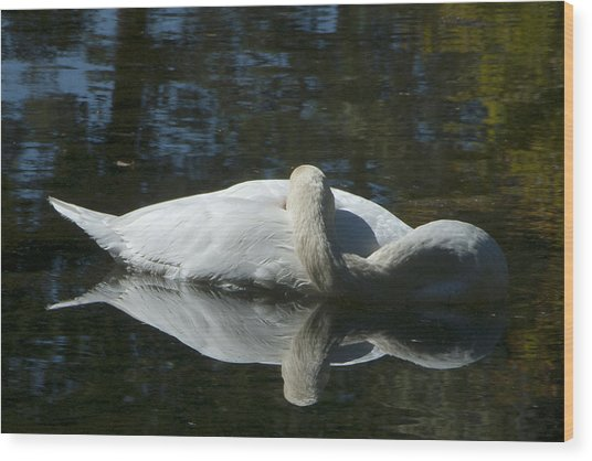 Sleeping Swan Wood Print