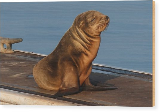 Sleeping Wild Sea Lion Pup  Wood Print