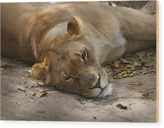 Sleepy Lioness Wood Print
