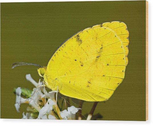 Sleepy Orange Sulfur Butterfly Wood Print