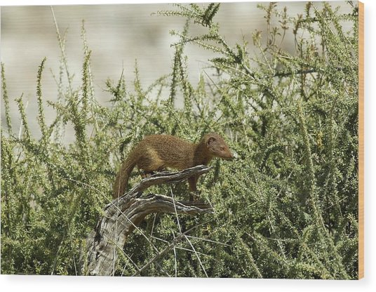 Slender Mongoose Wood Print by Tony Camacho/science Photo Library