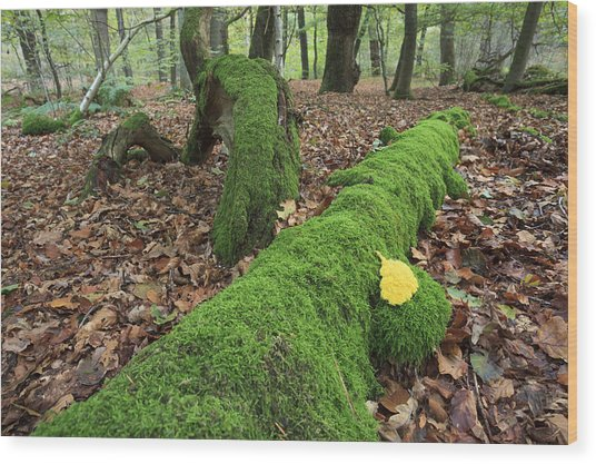 Slime Mold With Moss In Beech Forest Wood Print