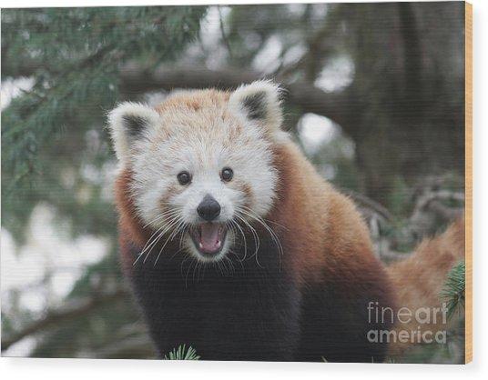 Smiling Red Panda Wood Print