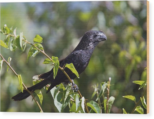 Smooth-billed Ani Wood Print by Bob Gibbons