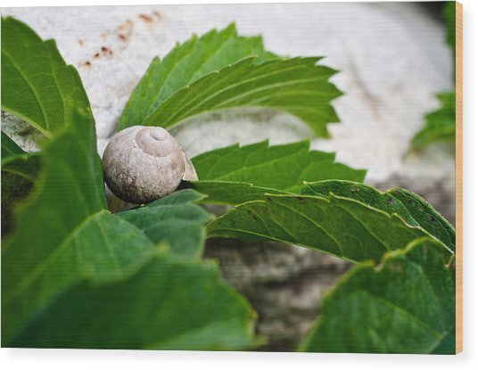 Snail Shell Wood Print by Chase Taylor