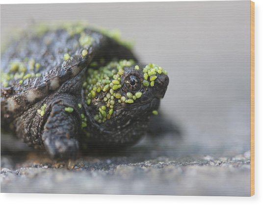 Snapping Turtle Wood Print by Brian Magnier