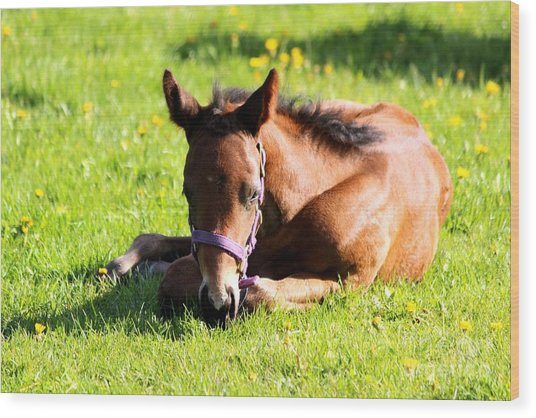 Snoozing Foal Wood Print