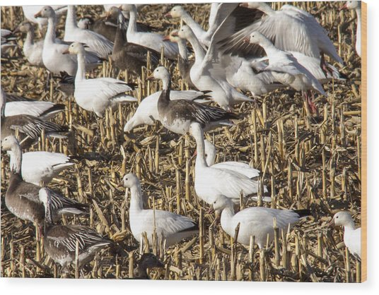 Snow And Ross's Geese Wood Print by Jill Bell