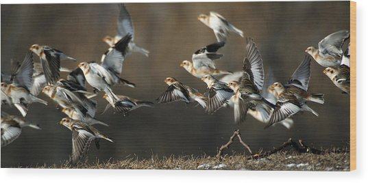 Snow Buntings Taking Flight Wood Print