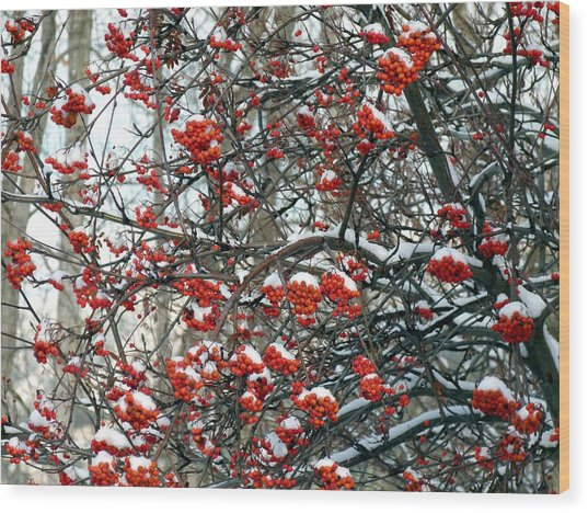 Snow- Capped Mountain Ash Berries Wood Print