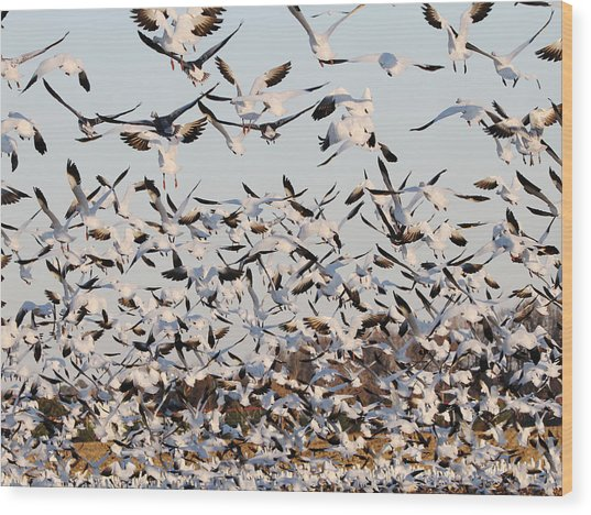 Snow Geese Takeoff From Farmers Corn Field. Wood Print