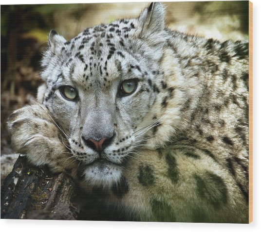 Snow Leopard Wood Print