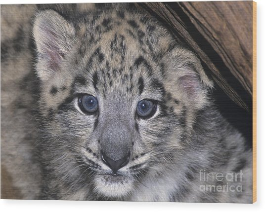 Snow Leopard Cub Endangered Wood Print