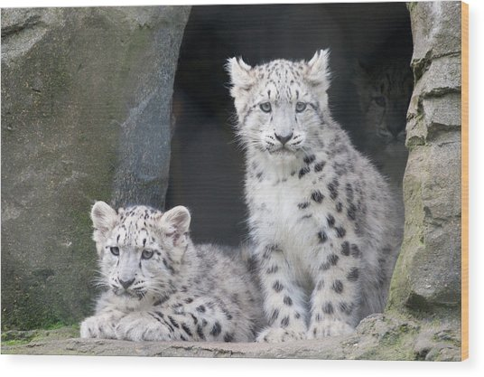 Snow Leopard Cubs Wood Print
