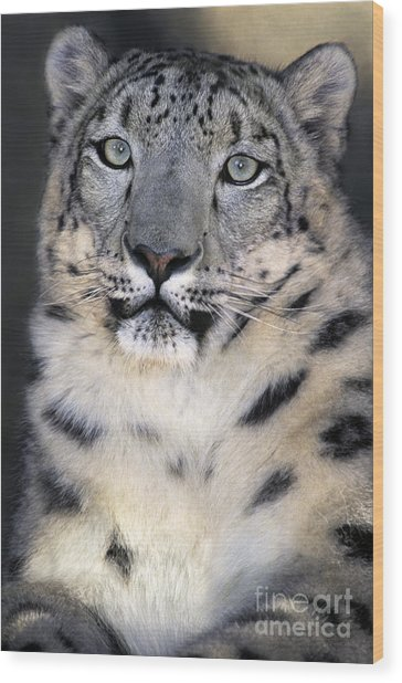 Wood Print featuring the photograph Snow Leopard Portrait Endangered Species Wildlife Rescue by Dave Welling
