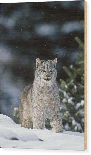 Snow Lynx Wood Print