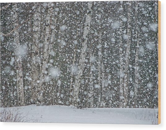 Snow On Birch  Wood Print