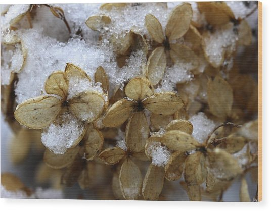 Snow On Hydrangea Wood Print
