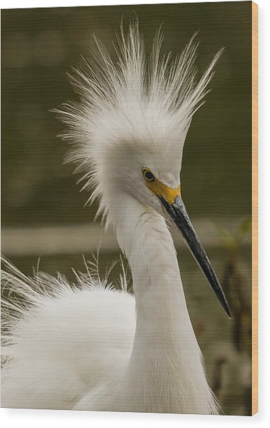 Snowy Egret Display Wood Print