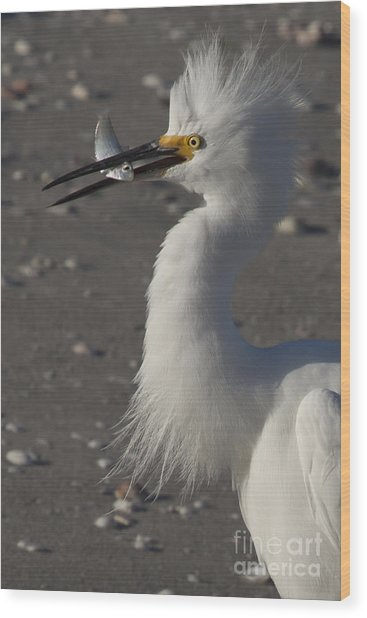 Snowy Egret Fishing Wood Print