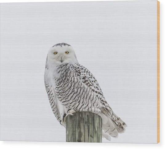Snowy Owl 2014 1 Wood Print