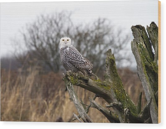 Snowy Owl At Boundary Bay  Wood Print by Pierre Leclerc Photography