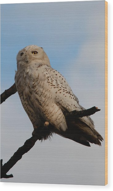 Snowy Owl Wood Print by David Yack